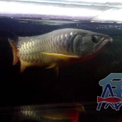 A44 Light Fish