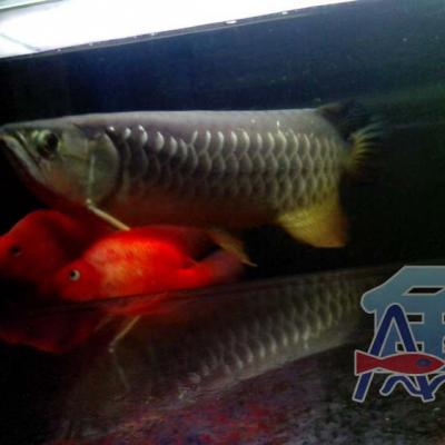 A45 Light Fish