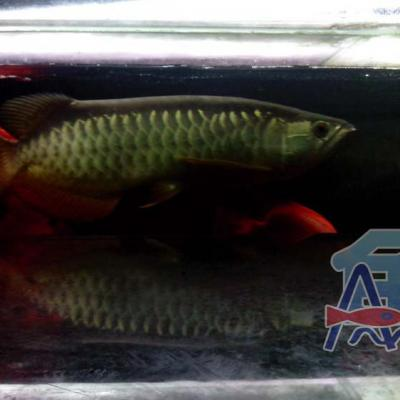 A46 Light Fish